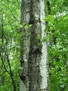 b��za p��it� - Betula pubescens